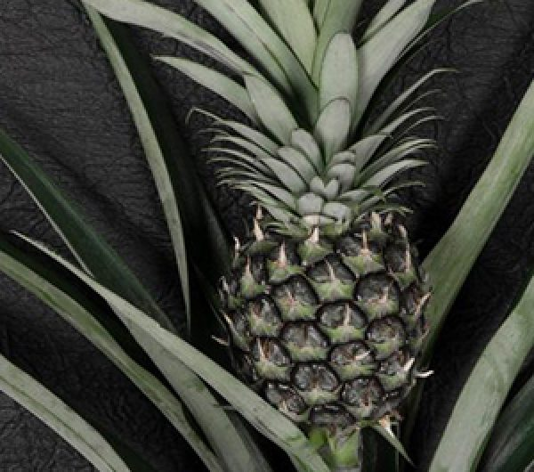 A pineapple with its leaf with a leather background